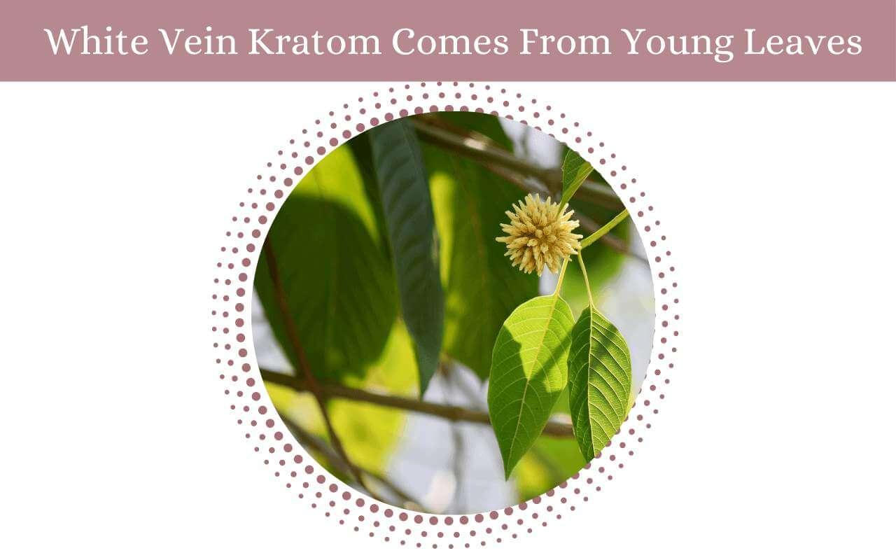 White Vein Kratom-oasis kratom