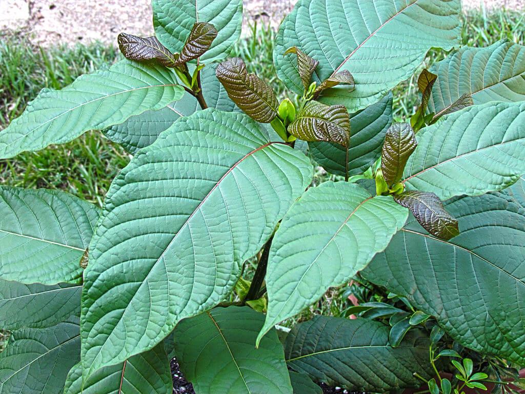 kratom near me plant_oasis kratom