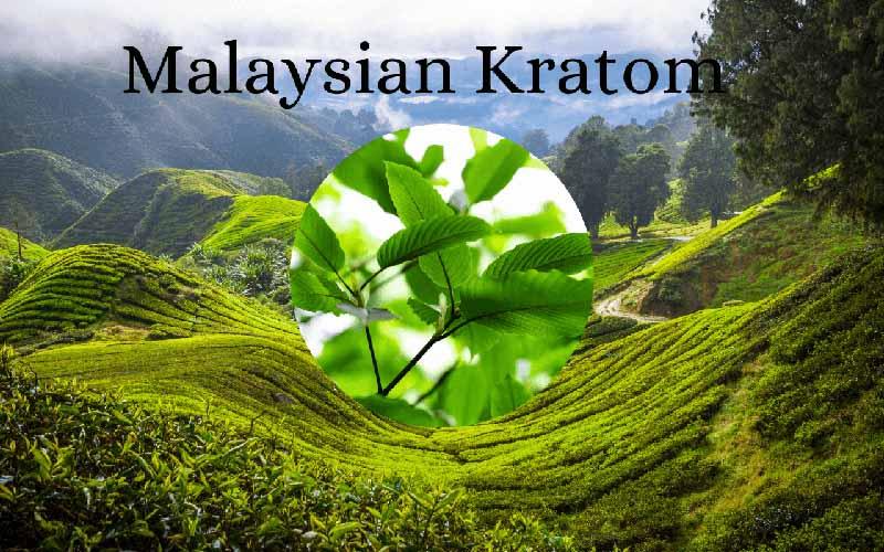 Ultimate Guide To Malaysian Kratom - by Oasis Kratom