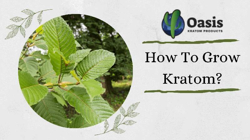 How To Grow Kratom - by Oasis Kratom