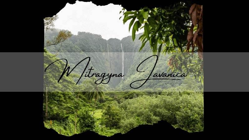 Mitragyna Javanica – A Kratom Alternative by Oasis Kratom