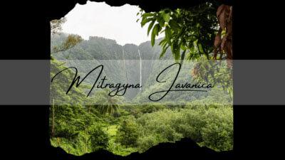 Mitragyna Javanica - A Kratom Alternative - Oasis Kratom