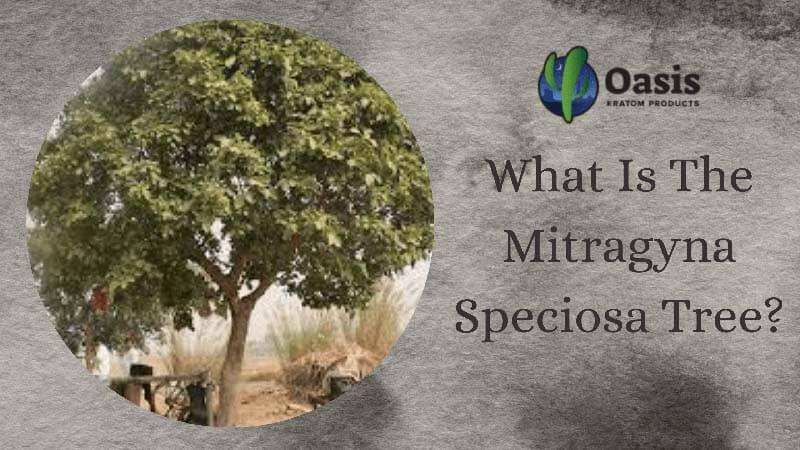 What Is The Mitragyna Speciosa Tree - Oasis Kratom