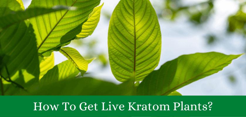 Live Kratom Plants